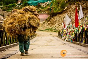 Travel Photo of the Week – Kinnauri Carrying Feed for the Cattle